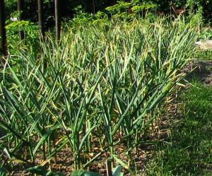 Как получить хороший урожай чеснока, чеснок в августе
