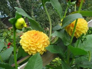 Iпродлеваем цветение георгинов