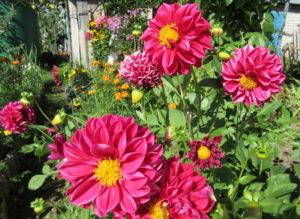 Георгины в осеннем саду