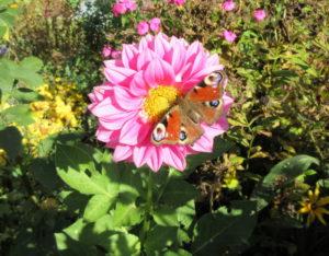 Бабочка на георгине в осеннем саду
