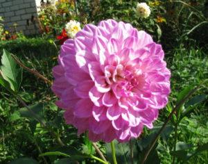 Георгин розовый в салу