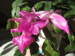 Декабрист - комнатное растение