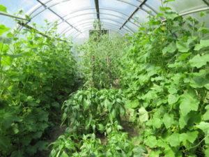Теплица с разными овощными культурами