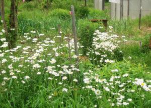 Ромашка в саду