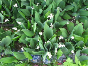 Ландыши садовые