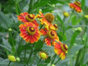Многолетний цветок Гелениум