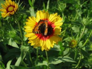 Бабочка на цветке гелениума