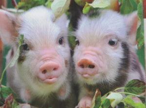 Две очаровательные свинки