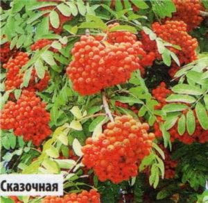 """Рябина сортовая """"Сказочная"""""""