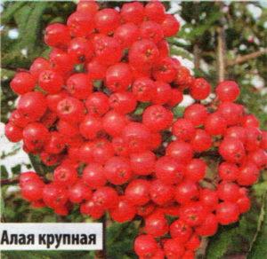 "Рябина сортовая ""Алая крупная"""