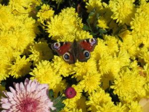 Бабочка на желтой хризантеме