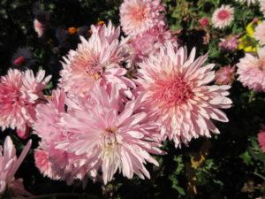 Корейская хризантема в саду
