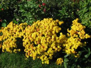 Кусты желтых хризантем