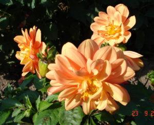 Однолетние георгины в саду