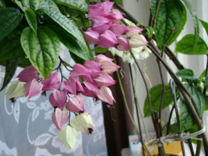 Цветущий Клеродендрум Томсона