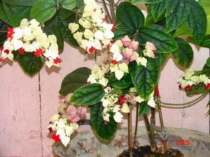 Комнатное растение Клеродендрум Томсона