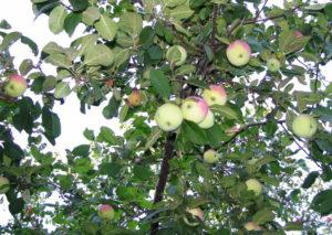 Здоровая яблоня, без парши