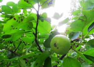 Яблоня пораженная паршой