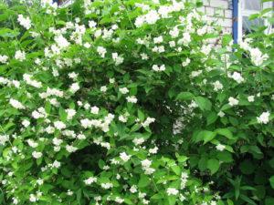 Чубушник венечный в саду