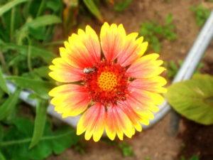Гайлардия в саду