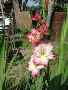 Гладиолус в саду