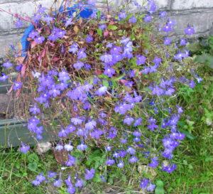 Лобелия ампельная в саду