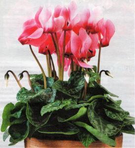 Комнатный цветок - цикламен